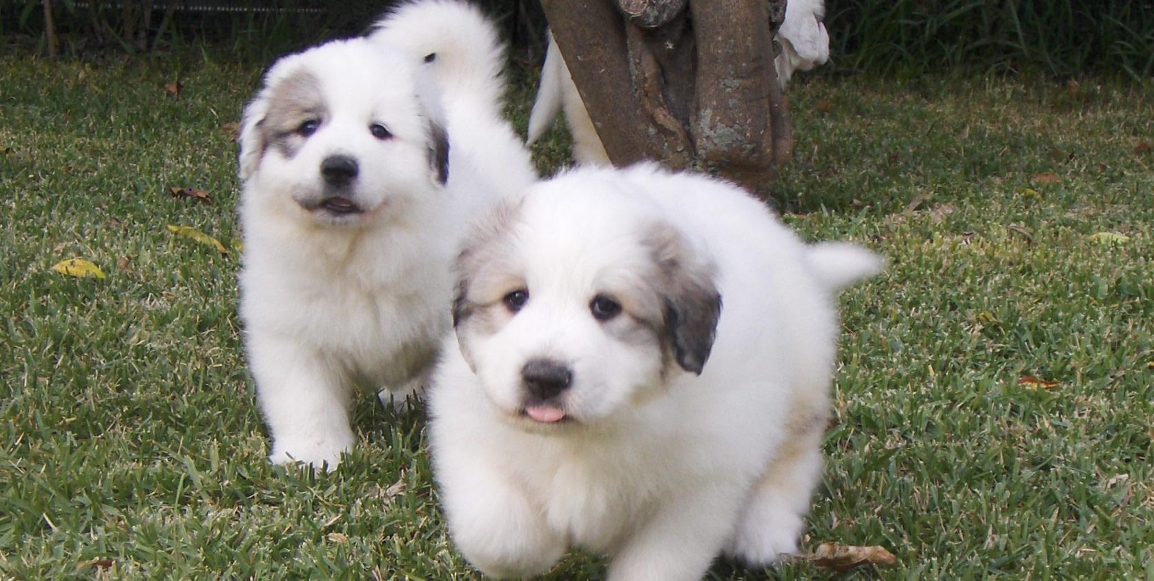 Cães De Montanha Dos Pirinéus